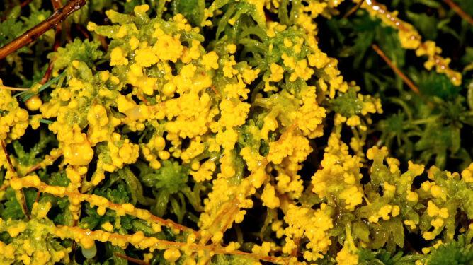 Śluzowiec Physarum polycephalum