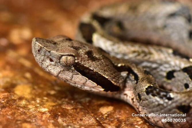 Żmija Bothrops monsignifer (Trond Larsen)