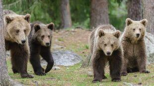 Nie śpią, zwiedzają. Ciepła zima rozbudziła niedźwiedzie
