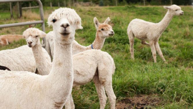 Alpaki jak psy pasterskie: bronią owiec przed drapieżnikami